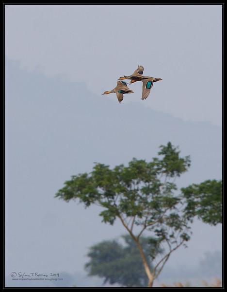 PHILIPPINE DUCK <i>Anas luzonica</i> Candaba, Pampanga, Philippines