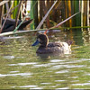"TUFTED DUCK, female <i>Aythya fuligula</i> Saud, Pagudpud, Ilocos Norte  We were wondering if this might be a female Greater Scaup. Arne said: ""The duck is rather tiny, brownish with rounded head. Greater Scaup is a bigger, more heavy birds, with some grayish colors, a slight flat top head not rounded and  most females have considerable white at the basis of the beak. Among other features. Your bird in my opinion is a Tufted Duck."""