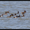 TUFTED DUCK <i>Aythya fuligula</i> Candaba, Pampanga, Philippines