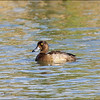 TUFTED DUCK, female <i>Aythya fuligula</i> Saud, Pagudpud, Ilocos Norte
