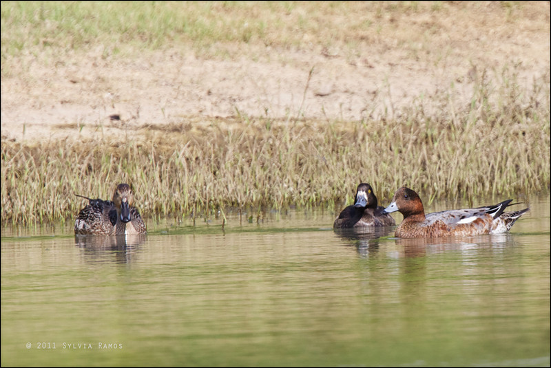 TUFTED DUCK <i>Aythya fuligula</i> Sabtang, Batanes, Philippines  with a Northern Pintail and Eurasian Wigeon