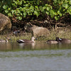 TUFTED DUCK <i>Aythya fuligula</i> Sabtang, Batanes, Philippines  with a Northern Pintail and two Spot-Billed Ducks