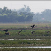 GREATER WHITE-FRONTED GOOSE <i>Anser albifrons</i> Candaba, Pampanga, Philippines