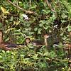 WANDERING WHISTLING DUCK <i>Dendrocygna arcuata</i> Candaba, Pampanga, Philippines