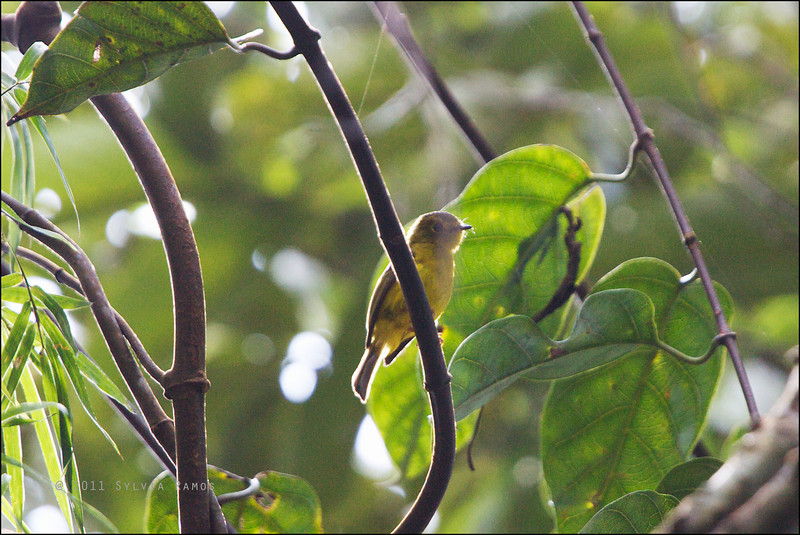 CITRINE CANARY-FLYCATCHER <i>Culicicapa helianthea</i> Northern Sierra Madre, Luzon, Philippines