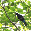 ASIAN FAIRY-BLUEBIRD <i>Irena puella</i> Iwahig Forest, Palawan  This bird did not stay for more than 7 or 8 seconds and we need to get a better photo next time. The tail is different from a Drongo, it has bright red eyes and the bright blue on the tail. We hope to encounter it again.