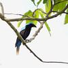 ASIAN FAIRY-BLUEBIRD <i>Irena puella</i> Puerto Princesa, Palawan