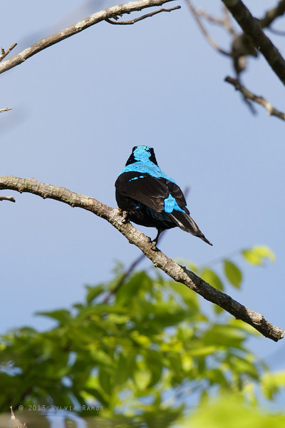 ASIAN FAIRY-BLUEBIRD <i>Irena puella</i> Puerto Princesa, Palawan  showing the back feathers