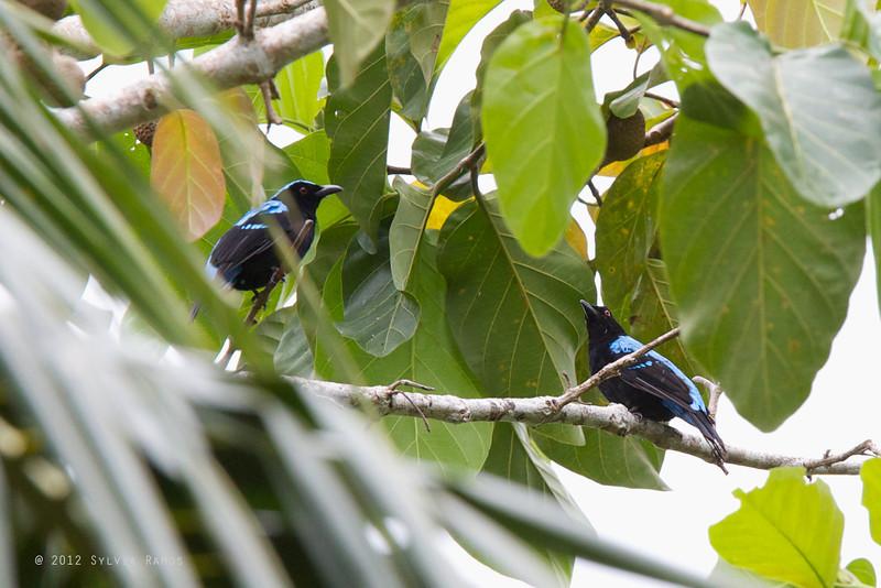 ASIAN FAIRY-BLUEBIRD <i>Irena puella</i> Sabang, Palawan