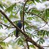 ASIAN FAIRY-BLUEBIRD, female <i>Irena puella</i> Puerto Princesa, Palawan