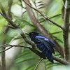 PHILIPPINE FAIRY-BLUEBIRD <i>Irena cyanogastra</i> Real,  Quezon