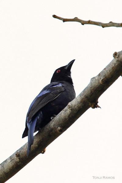 PHILIPPINE FAIRY-BLUEBIRD <i>Irena cyanogastra</i> Northern Sierra Madre, Luzon, Philippines