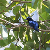 PHILIPPINE FAIRY-BLUEBIRD
