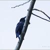PHILIPPINE FAIRY-BLUEBIRD <i>Irena ccyanogastra</i> Northern Sierra Madre, Luzon, Philippines