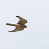 EURASIAN KESTREL <i>Falco tinnuculus</i> Sabtang, Batanes, Philippines