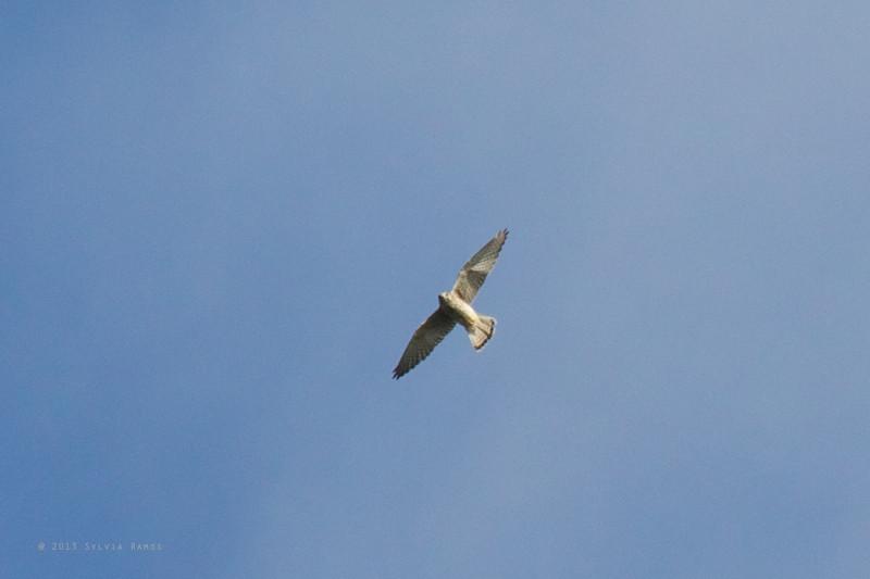 EURASIAN KESTREL, immature <i>Falco tinnuculus</i> Basco, Batanes