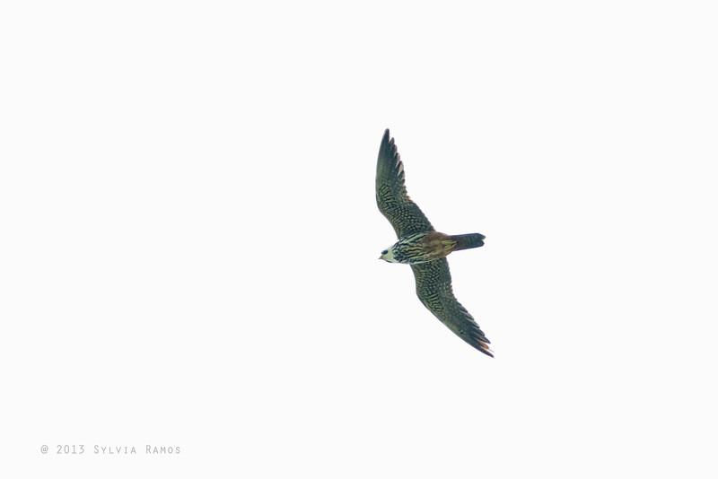 EURASIAN HOBBY <i>Falco subbuteo</i> Basco, Batan, Batanes