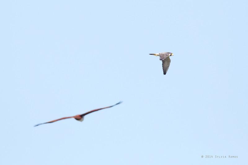 PEREGRINE FALCON <i>Falco severus</i> Laoag, Ilocos Norte  That's a Brahminy Kite in the foreground.