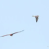 PEREGRINE FALCON <i>Falco severus</i> Laoag, Ilocos Norte  That's a Brahminy Kite in the foreground.