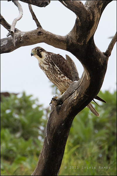 PEREGRINE FALCON <i>Falco severus</i> Tubbataha Reef, Sulu Sea, Philippines