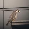 PEREGRINE FALCON <i>Falco severus</i> Filinvest, Philippines