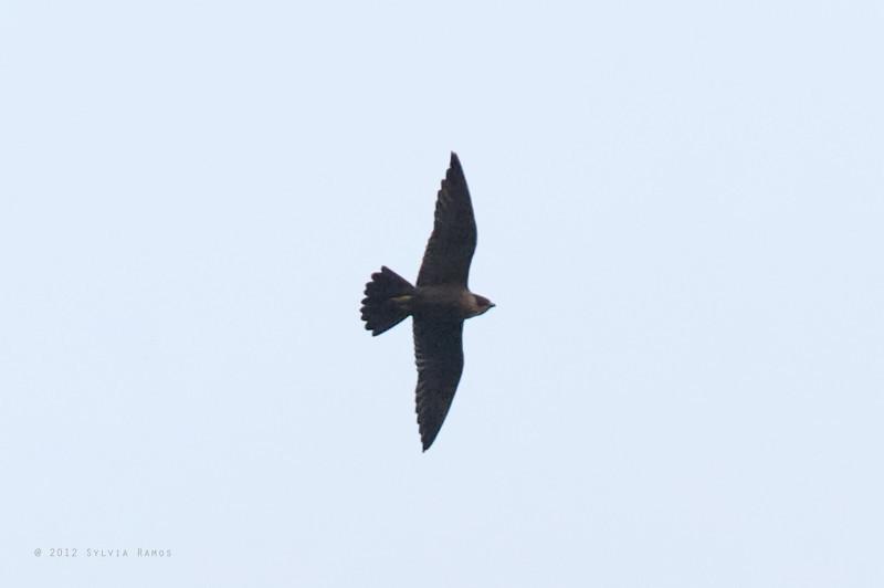 PEREGRINE FALCON <i>Falco severus</i> Subic, Olangapo, Philippines