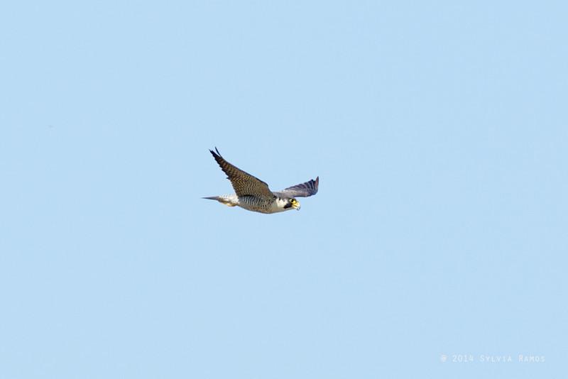 PEREGRINE FALCON <i>Falco severus</i> Laoag, Ilocos Norte