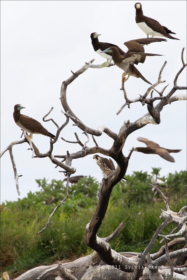 PEREGRINE FALCON <i>Falco severus</i> Tubbataha Reef, Sulu Sea, Philippines  A lone Peregrine Falcon among Brown Boobies.