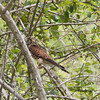 SPOTTED KESTREL