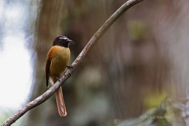 BLACK-AND-CINNAMON FANTAIL <i>Rhipidura nigrocinnamomea</i> Mt. Kitanglad, Bukidnon, Philippines
