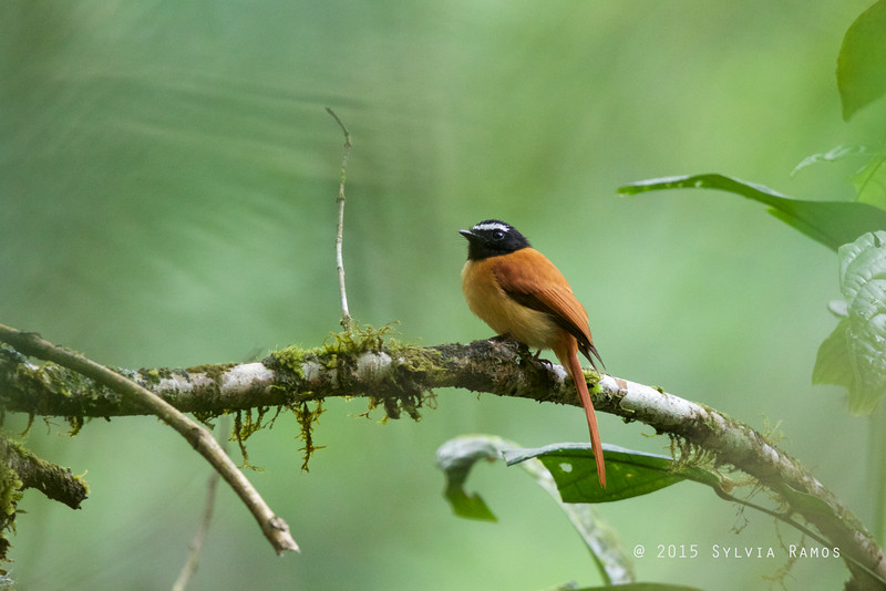 BLACK-AND-CINNAMON FANTAIL <i>Rhipidura nigrocinnamomea</i> Mt. Kitanglad Range National Park, Cinchona, Mindanao