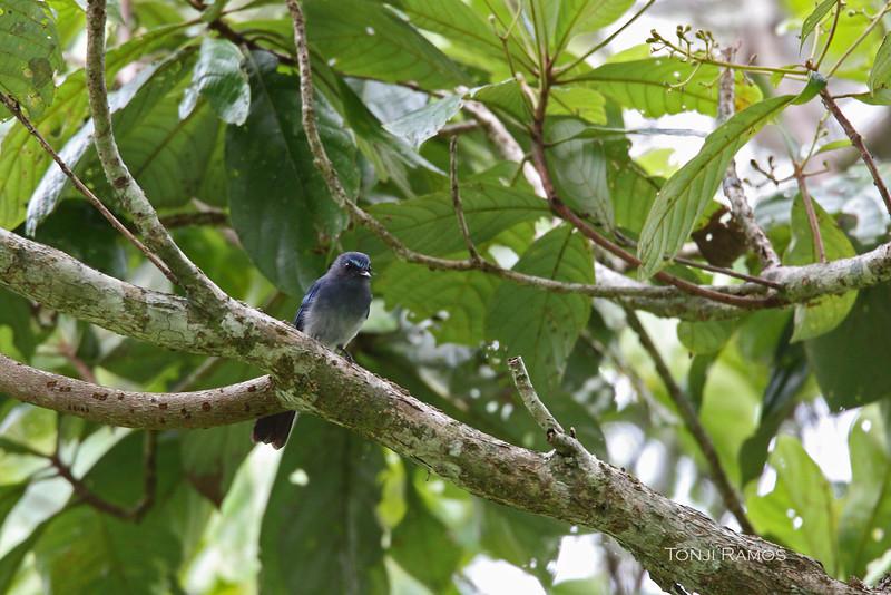 MINDANAO BLUE FANTAIL <i>Rhipidura superciliaris</i> PICOP, Bislig, Surigao del Sur
