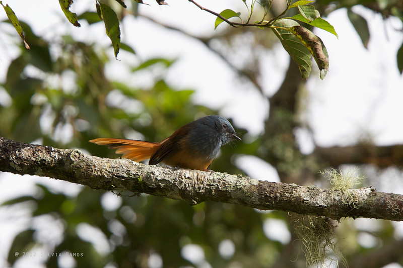 BLUE-HEADED FANTAIL <i>Rhipidura cyaniceps</i> Mt. Polis, Banaue, Mountain Province