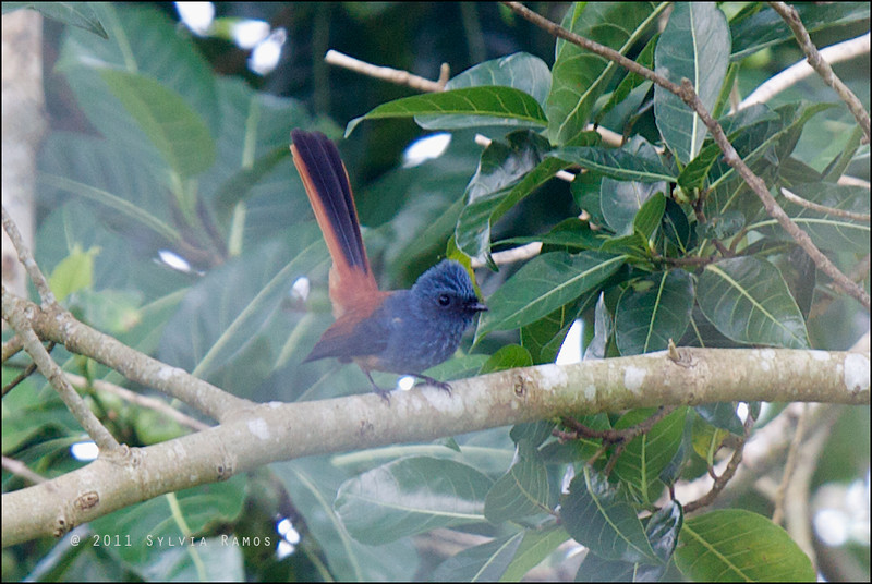 BLUE-HEADED FANTAIL <i>Rhipidura cyaniceps</i> Bangkong Kahoy, Quezon, Philippines