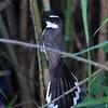 PHILIPPINE PIED FANTAIL <i>Rhipidura nigritorquis</i> Candaba, Pampanga
