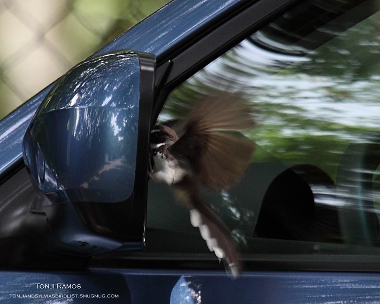 PHILIPPINE PIED FANTAIL <i>Rhipidura nigritorquis</i> Alabang, Philippines This bird likes to look at its reflection in the car windows and mirrors. Sometimes it seems mad at the reflection.