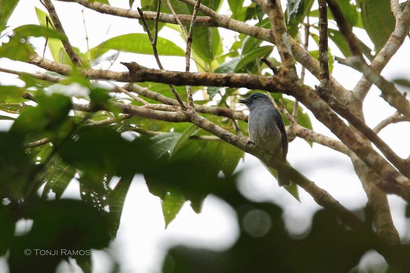 VISAYAN FANTAIL <i>Rhipidura albiventris</i> Mt. Kanlaon, Negros