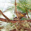 RED CROSSBILL <i>Loxia curvirostra</i> Bessang Pass, Ilocos Sur  mating