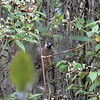 WHITE-CHEEKED BULLFINCH <i>Pyrrhula leucogenis</i> Mt. Apo, Mindanao