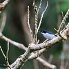 BICOLORED FLOWERPECKER