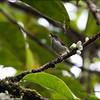 BUZZING FLOWERPECKER <i>Dicaeum hypoleucum</i> PICOP, Bislig, Surigao del Sur