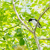BUZZING FLOWERPECKER <i>Dicaeum hypoleucum mindanense</i> Baluno, Pasonanca, Zamboanga  The Buzzing Flowerpecker of Mindanao looks darker.