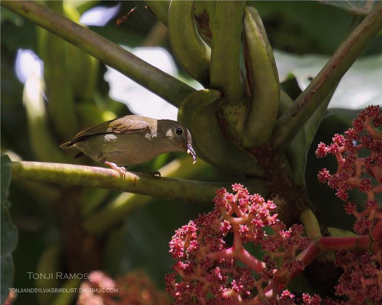 BUZZING FLOWERPECKER <i>Dicaeum hypoleucum</i> Sierra Madre, Nueva Ecija