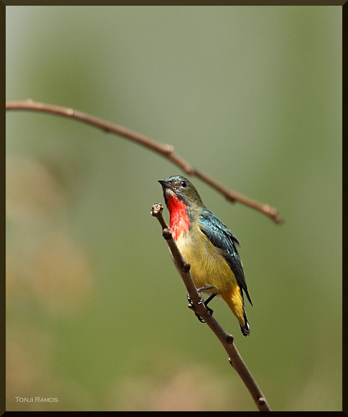 FIRE-BREASTED FLOWERPECKER <i>Dicaeum ignipectus</i>> Sagada, Mountain Province, Philippines