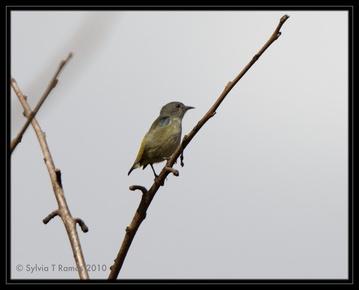 FIRE-BREASTED FLOWERPECKER, either a female or an immature <i>Dicaeum ignipectus</i> Sagada, Mountain Province, Philippines