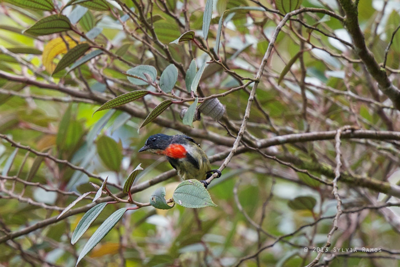 FIRE-BREASTED FLOWERPECKER <i>Dicaeum ignipectus</i> Mt. Polis, Banaue, Mountain Province