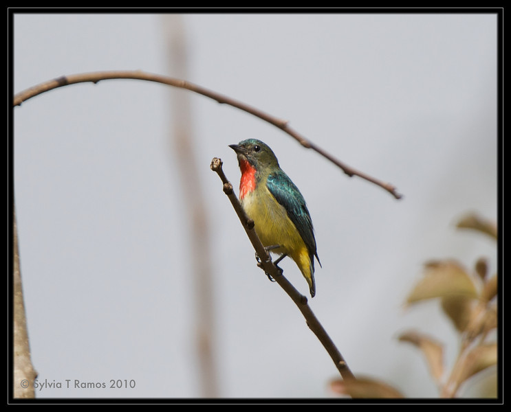 FIRE-BREASTED FLOWERPECKER <i>Dicaeum ignipectus</i> Sagada, Mountain Province, Philippines