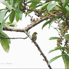 OLIVE-BACKED FLOWERPECKER
