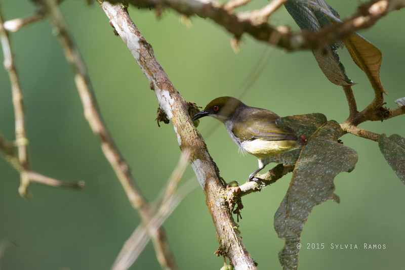 OLIVE CAPPED FLOWERPECKER