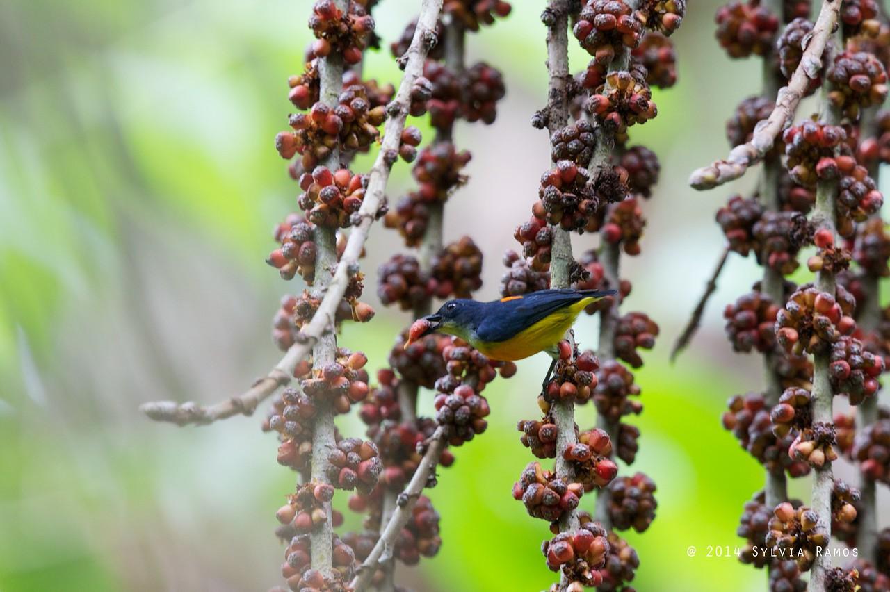 ORANGE-BELLIED FLOWERPECKER <i>Dicaeum trigonostigma</i> Eden, Davao, Davao del Sur